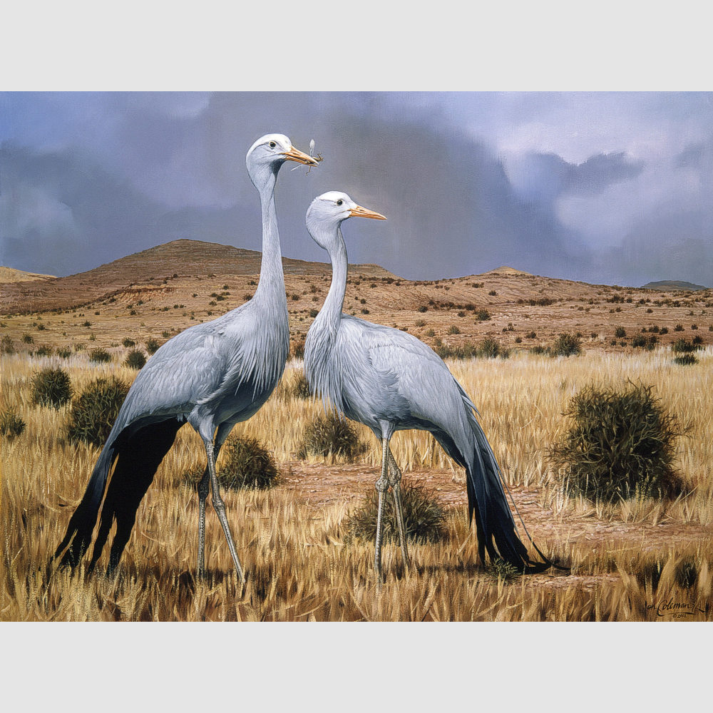 blue-cranes-in-the-great-karoo-by-ian-coleman-2002-1k-square