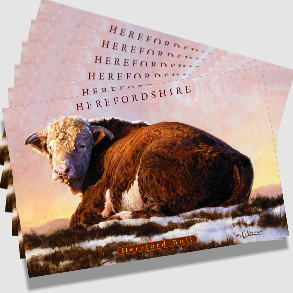 Postcard Hereford Bull By Ian Coleman Copyright 1k V2