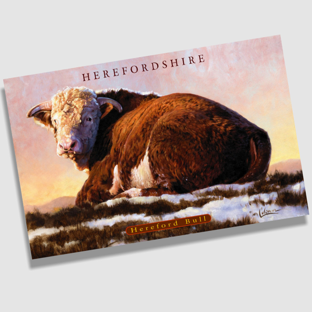 Postcard Hereford Bull By Ian Coleman