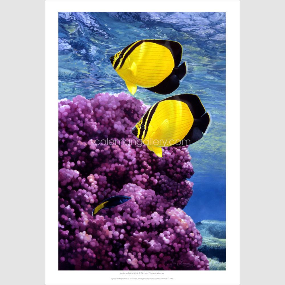Arabian Butterflyfish product print 1K by Ian Coleman