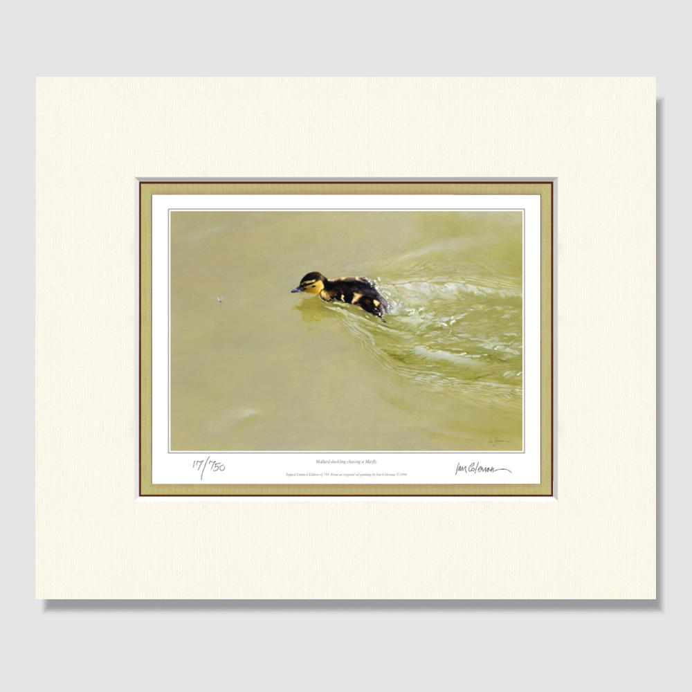 mallard-duckling-small-print-by-ian-coleman
