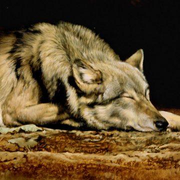 Wolf - Lobo Dreams