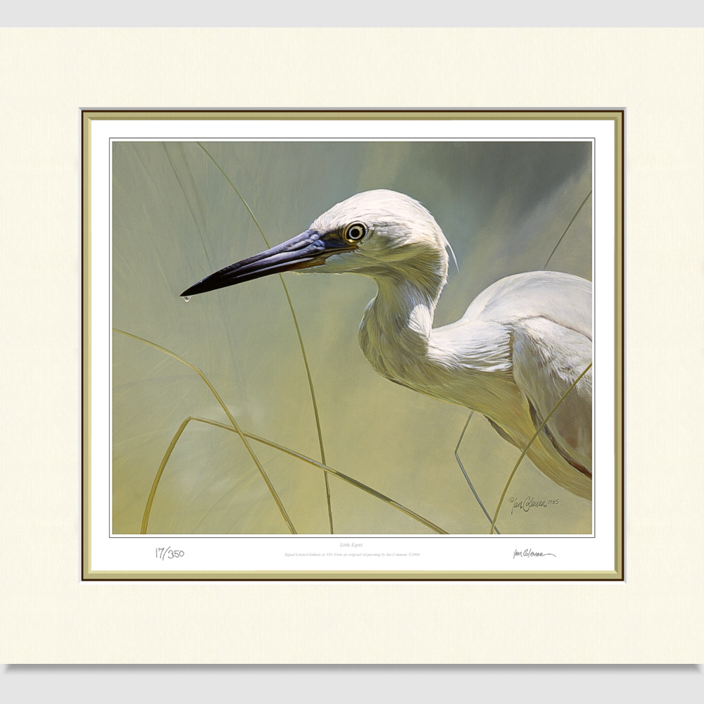 little-egret-large-print-by-ian-coleman