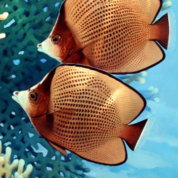 Black Spotted Butterflyfish