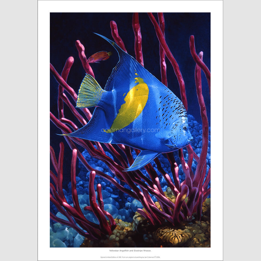 Yellow Bar Angelfish and Six stripe wrasse by Ian Coleman